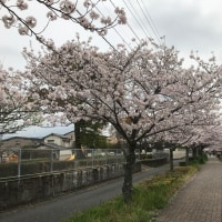 禁煙2519日目 「花見ポタ」