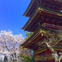 三重の塔と満開の桜
