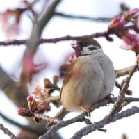 咲き始めた熱海桜は夕映えに浮かび上がる・メジロは蜜を吸う