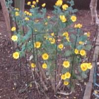 センリョウと菊の花