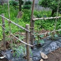 夏野菜、「家庭菜園」は、順調な成育。