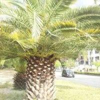 今朝のカナリー椰子