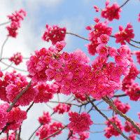 一昨日沖縄で桜の開花と、ニュースがあったねぇ。