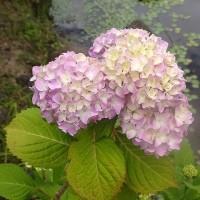 アジサイの花が咲き始めた