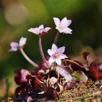 セツブンソウとユキワリソウ(赤塚植物園)
