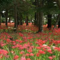 ミニ巾着版 祖光院の彼岸花~真紅、白、黄色、ピンクとカラフルな色合いも