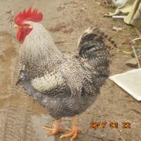 抱卵 孵化 失敗した辞めない親鳥今一度 抱卵 種無の♂ 全滅だわ