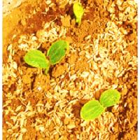 直播 野菜の 発芽 - 3