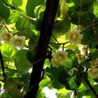 キウイの花