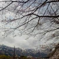 やっぱり桜 その2