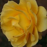 再び冬薔薇