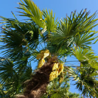 2017年5月12日(金) 大きな棕櫚の花 と お月様