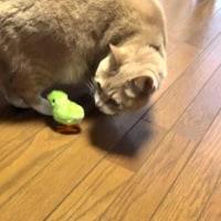百均でアヒルのおもちゃとホウキ買ってきました【猫日記こむぎ&だいず】2017.04.23