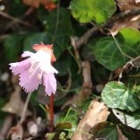 六甲山植物園の花 4月16日 その5 雪割草 イワウチワ