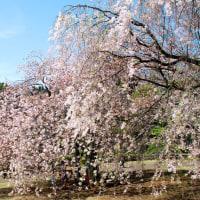 新宿御苑のお花見