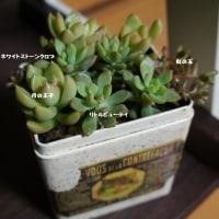 多肉植物 月の王子・クラバツム