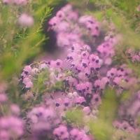 ジャノメ エリカ (花 4298)