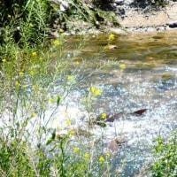 鯉の産卵行動を目撃する