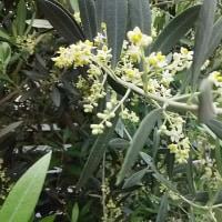 オリーブの小さい花が満開