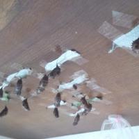 リュウキュウムラサキの蛹!!