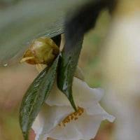 椿の花(Ⅱ)