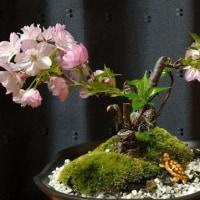 なんとか咲いた盆栽桜