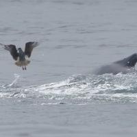 ザトウクジラの採餌・モントレー/Feeding of the Humpback whale in Monterey Bay 3
