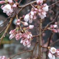 高崎 慈眼寺のしだれ桜2017(その2)開花