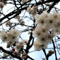 「カラミザクラ(唐実桜)」が見頃