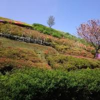ミツバツツジ:愛川公園に来ています(スマホから)