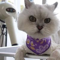 2/15ご来院のお友達です。初めての猫ちゃんが来院され、すっきりしました。短くなりましたが、また伸びてきますのでご安心下さい。お手入れも楽になりましたね。