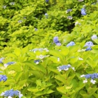 季節の花・・・紫陽花