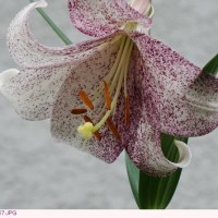 ユリ 〈白い花びらに紫の斑点〉