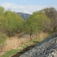 ようやく沼田市も桜が満開   4月19日