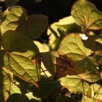 イカリソウ(碇草、錨草)の黄葉