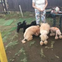 ミディアムプードル子犬と遊ぼう2回目。 23日(日)