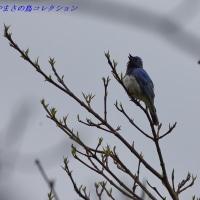 今日の鳥コレクション・・・オオルリ
