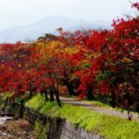 161129 うきは市、延寿寺川土手のはぜ並木の紅葉を妻と見に行く!
