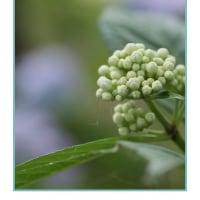 もりやま芦刈園の紫陽花 その2