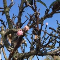 季節はずれの桃の花 10月28日 (ももははさん)