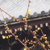 奈良般若寺の水仙の花