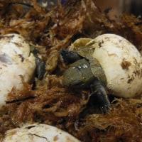 イシガメの孵化