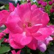 バラ 「ピンクノックアウト」 -      庭園