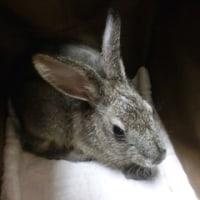 ウサギ専門診療科68 皮膚無力症(エーラス・ダンロス症候群)
