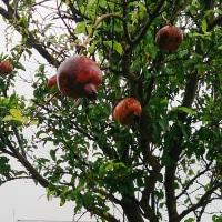 2016年9月28日:〈津屋崎の四季〉1164:秋霖に濡れるザクロの実