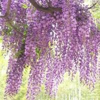御仏に奉らむ紫藤花六尺
