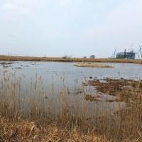 3/27探鳥記録写真(響灘ビオトープの小鳥たち:ホオアカ、コチドリ、タシギ他)