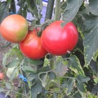 今年のトマトも終了とした。