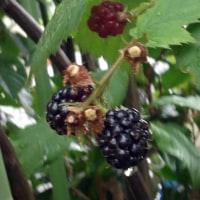 ブラックベリーの実が色付いて・・・ (花便り・・266・・)