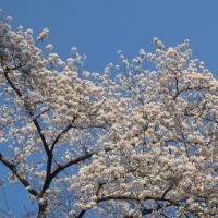 弘前のさくら祭りに行きました